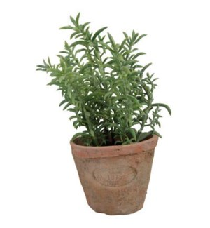 Thyme in AT pot S. Terra cotta