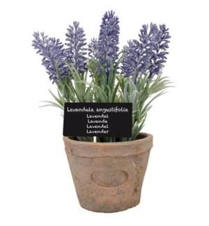 Lavender in AT pot L. Terra co