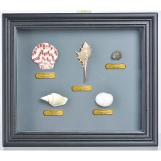 Shell in frame. Real shells, glass, MDF. 32,0x4,6x27,5cm. oq/6,mc/24 Pg.105