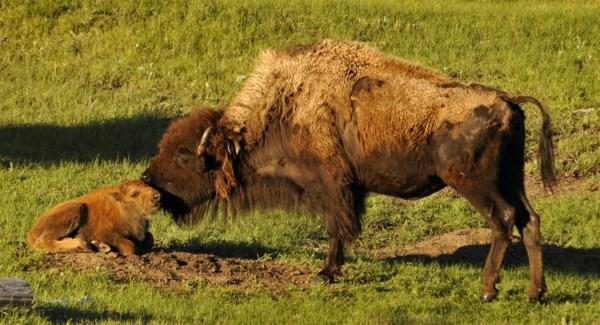 10 3x5 SD Buffalo