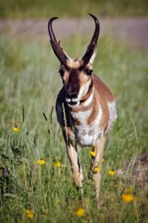 01 5x6 SD Antelope