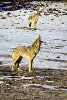 01 5x6 SD Coyote
