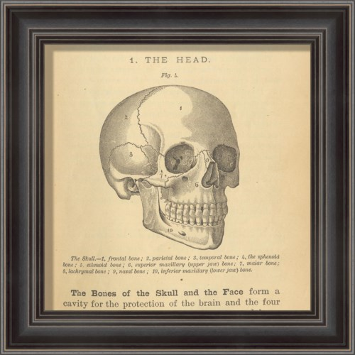 LS Physiology Skull