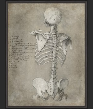 BC Anatomy Sketch Skeleton Posterior xl