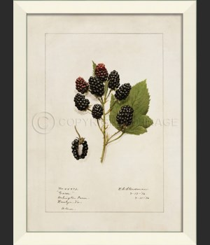LN Blackberries No2