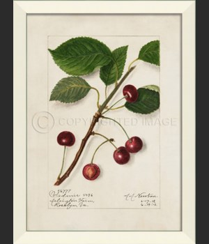 LN Cherries No6