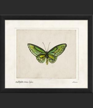 EB Ornithoptera croceus lydius sm