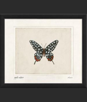 EB Papilio antenor sm