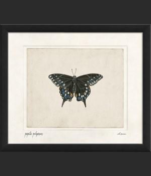 EB Papilio polyxenes sm