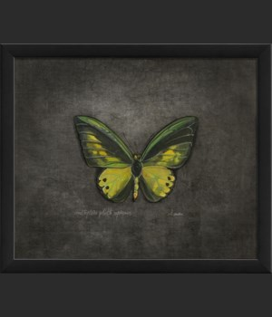 EB Ornithoptera goliath supremus on black sm