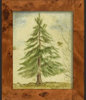 NA Larch Tree