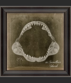 LS Sandbar Shark Jaw on Black