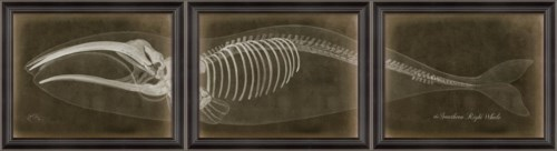 LS Southern Right Whale Skeleton on Black