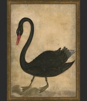 KG Black Swan
