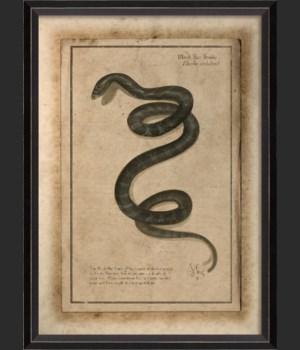 BC Black Rat Snake