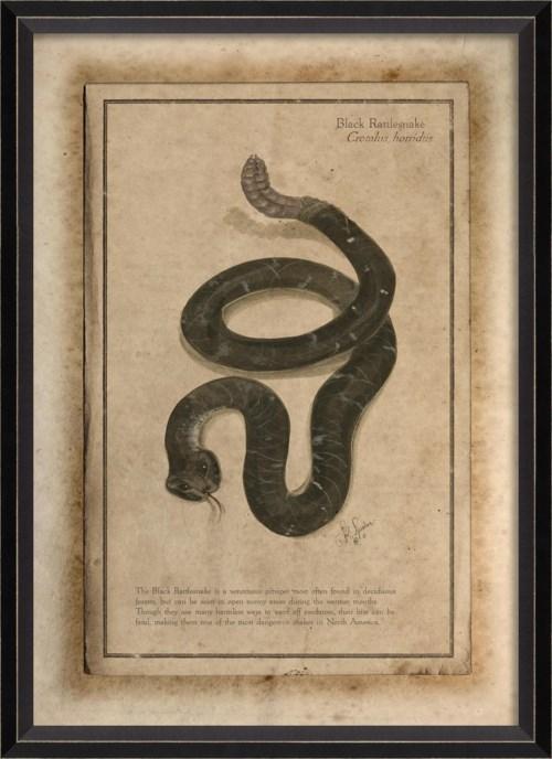 BC Black Rattlesnake
