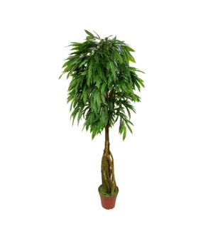 7' Slim Mango Tree
