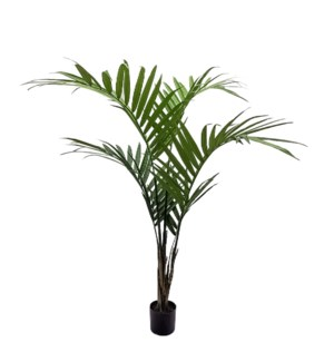 5' Kentia Palm