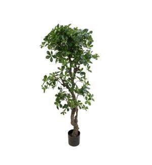 6' Baby Schefflera Tree