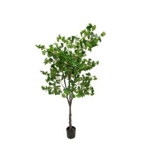 6' Ginko Tree