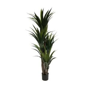 5' Aloe Tree