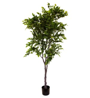 5.8' Potted Ficus Tree