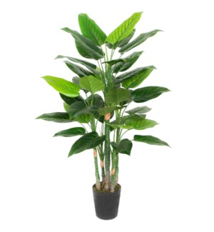 5ft Philodendron w/Pot