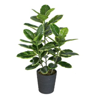"35.5"" Rubber Plant w/Pot"