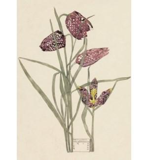 Fritillaria Mackintosh