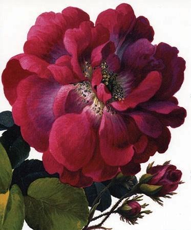 Moss Rose|Archivist