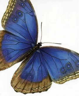 Blue Butterfly 5x6|Archivist