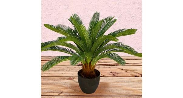 Cycas  Plante 58CM - 4B