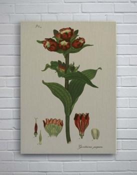 H Andrews Fleur Red-Botanical and Floral