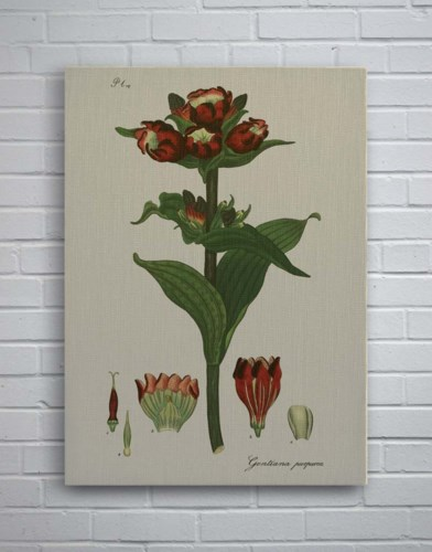 H Andrews Fleur Red-Botanical and Floral