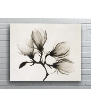 Magnolia X-Ray-Floral and Botanical