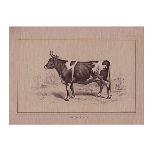 Brittany Cow-Animal
