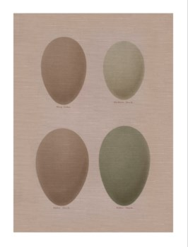 Duck Eggs -Animal