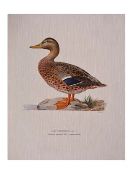 Mallard Duck Female -Animal