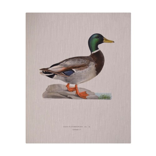 Mallard Duck Male -Animal