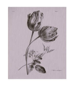 Tulip black and white-Botanical