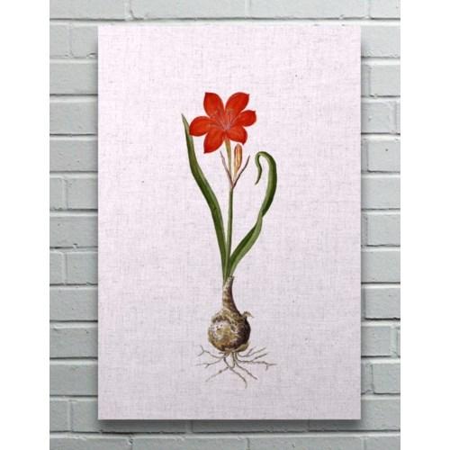 Amarylis-Floral and Botanical