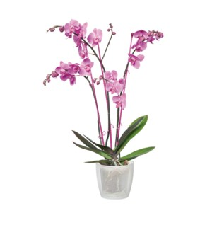 brussels orchid 16cm transparent