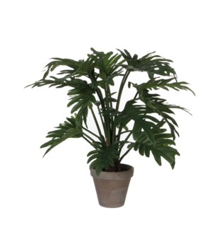 Philodendron selloum green in pot Stan grey d15,5cm - l50xd40cm