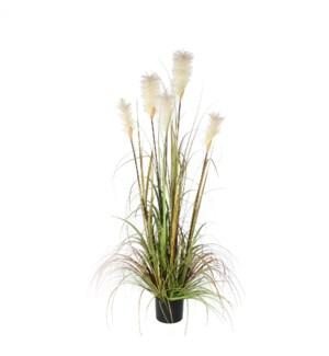 Plume grass foxtail green in plastic pot - h150cm