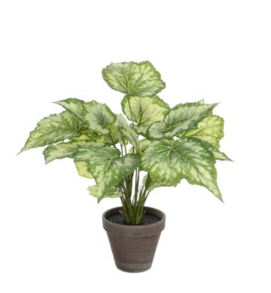 Begonia green variegated in pot Stan grey d13,5cm - 15x15.75""