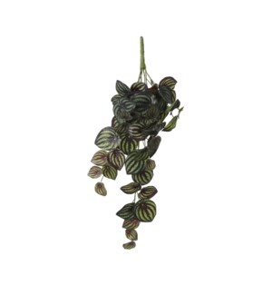 Peperomia hanging d. green variegated - 22.75x8x5.5""