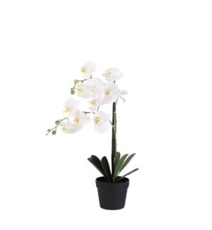 "Phalaenopsis in pot cream - 8x23.75"""