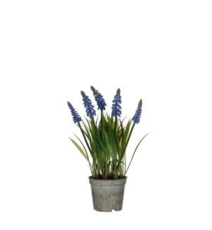 "Grape hyacinth in plastic pot blue - 3.25x10.75"""