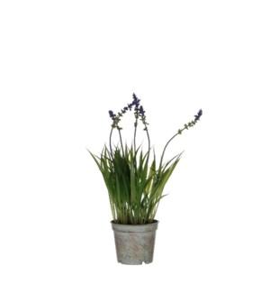 "Lavender in plastic pot purple - 3.25x11.75"""