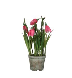 "Fritillaria in plastic pot pink - 3.25x9"""